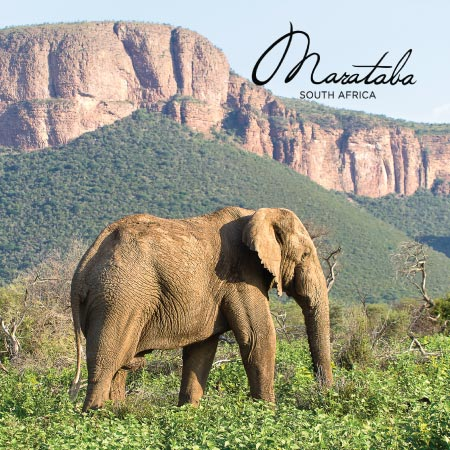An Elephant at Madikwe Game Reserve