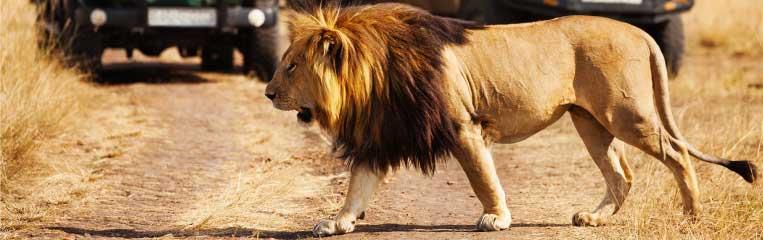 A Lion roaming around